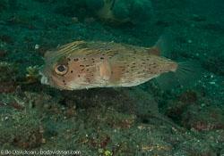 BD-090928-Lembeh-9284941-Diodon-holocanthus.-Linnaeus.-1758-[Longspined-porcupinefish.-Brunfläckig-igelkottfisk].jpg